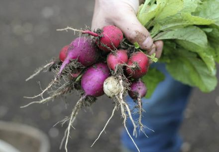This season, radish crop in particular has been out of control. Every day there are more and more brightly colored orbs popping out of the ground. And we've been eating them every way we know how — sprinkled with salt, on buttered bread, poached in herb butter and sliced thinly on top of salads.