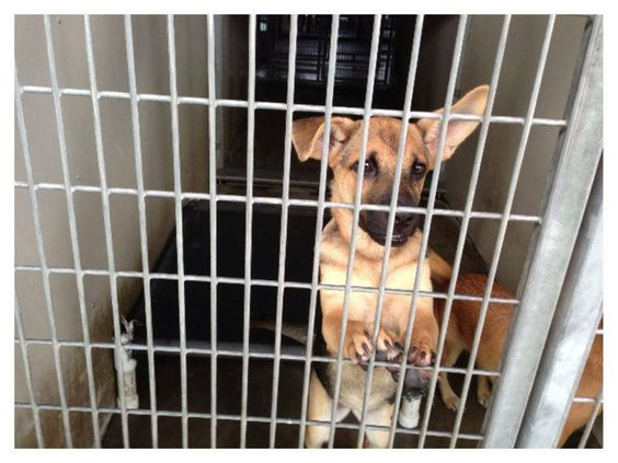 #SANBERNARDINO #CA FEMALE #GSD  #GERMANSHEPHERD MIX  4 MONTH OLD  AVAILABLE FOR ADOPTION 9-5-13 ID A452953  https://www.facebook.com/permalink.php?story_fbid=435207356598128=298927593559439_index=0