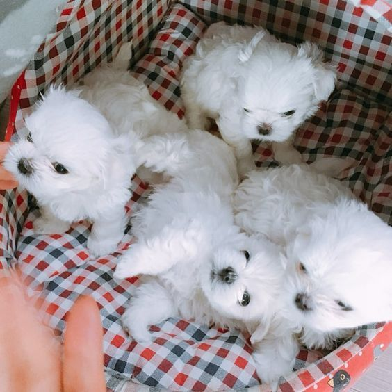 Clever Soft And Cuddly It Is No Wonder Why Maltese Puppies Are