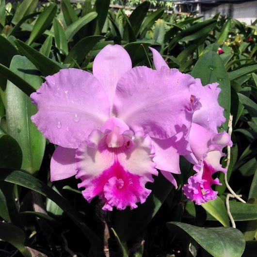 Bc Chief Pink Diana Cattleya Orchids Orquideas Orquidea Flores