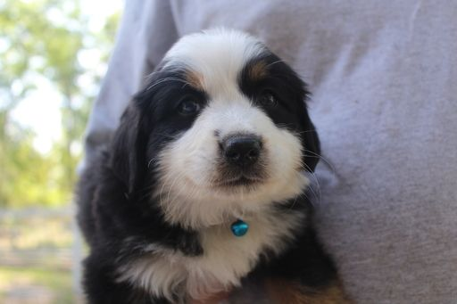 Litter Of 9 Bernese Mountain Dog Puppies For Sale In Mcminnville Tn Adn 71622 On Puppyfinder Co Bernese Mountain Dog Puppy Puppies For Sale Puppies