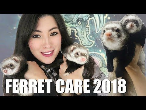 Ferret Care 2018 How To Care For Pet Ferrets Youtube In 2020 Ferrets Care Pet Ferret Ferret