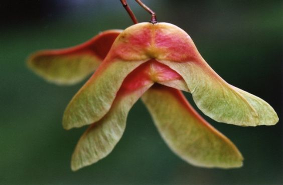 blushing seed pods from a maple tree - these little guys are perfect little helicopters