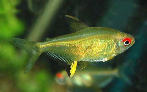 Lemon Tetra Hyphessobrycon Pulchripinnis Tropical Freshwater Fish Tropical Fish Aquarium Tetra Fish