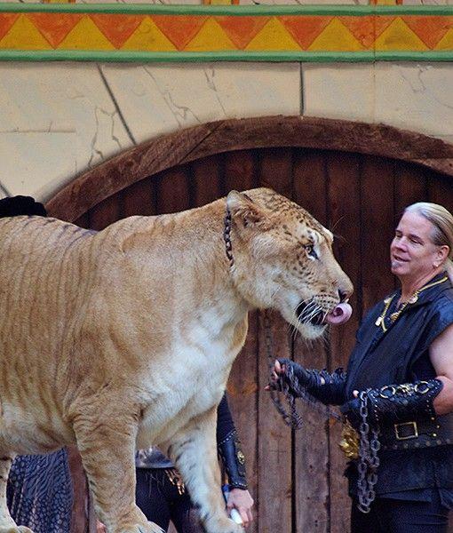 Hercules the liger