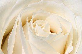 Rosa, Flor, Branco, Natureza, Pétalas