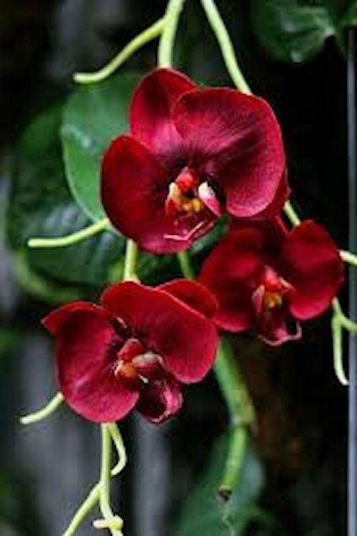Burgundy Butterfly Orchid Seeds Orchid Seeds Red Orchids Flowers