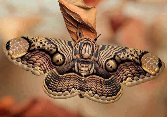 Moth tan & black pattern