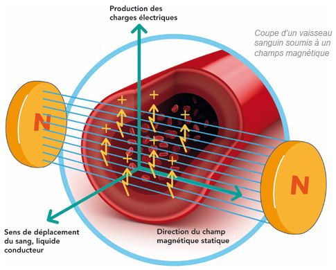 Coupe d'un vaisseau sanguin soumis à un champ magnétique: