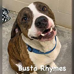 Ocala Florida American Staffordshire Terrier Meet Busta Rhymes