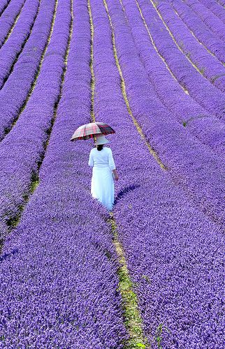 lavender fields in France -- please let me walk where she is.
