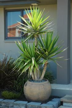 Yucca in pot garden landscape pinterest galleries for Yucca exterieur pot