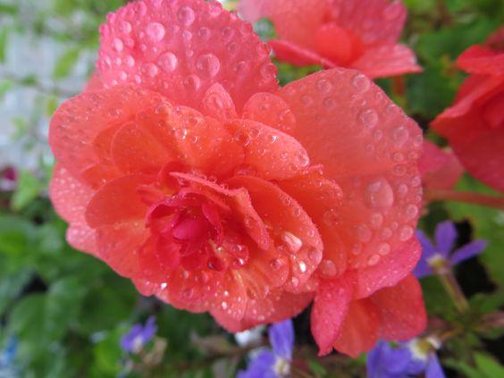 Rose sous la pluie. Ma photo.