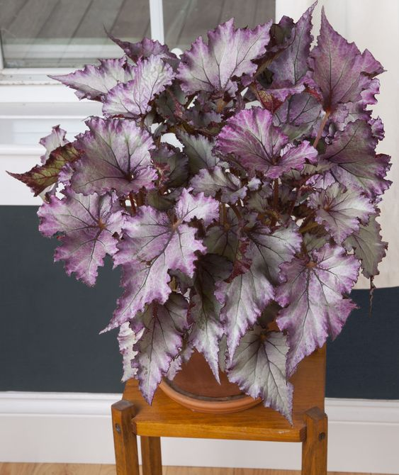 Begonia 'Satin Jazz' (Begonia rex hybrid)