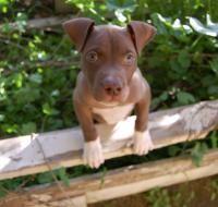 pit bull puppy exploring