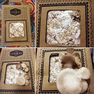 Cogumelos comestíveis ornamentais......Estou In love pela @cogubras, ganhei este cogoo de presente e em apenas 5 dias olha o tanto que já cresceu.  #cogubras #cogumelos #cogumeloostramarrom #cogoo #cultiveoseucogoo