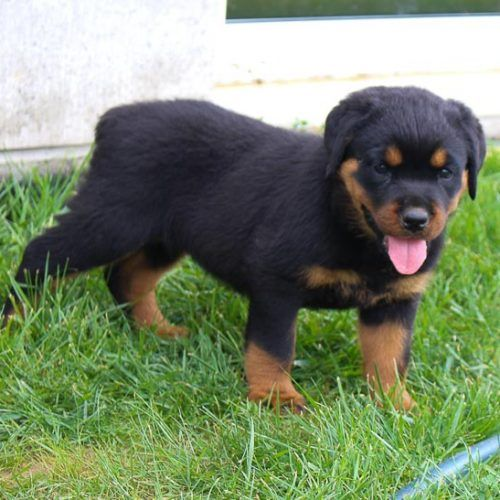 Kelsey Puppy Akc Rottweiler For Sale In Shipshewana Indiana In 2020 Rottweiler For Sale Puppies Husky Puppies For Sale