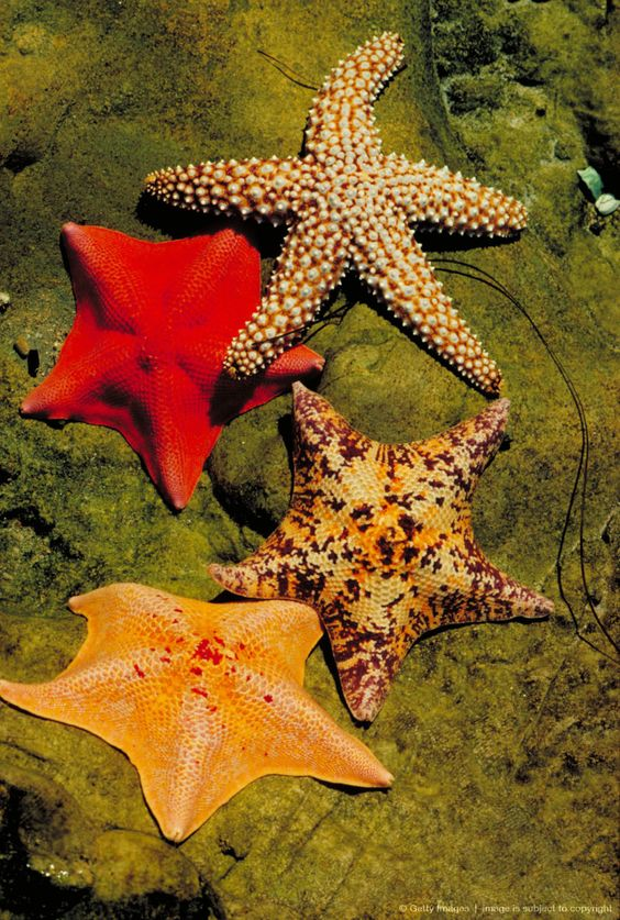 Image Detail for - Starfish in tide pool