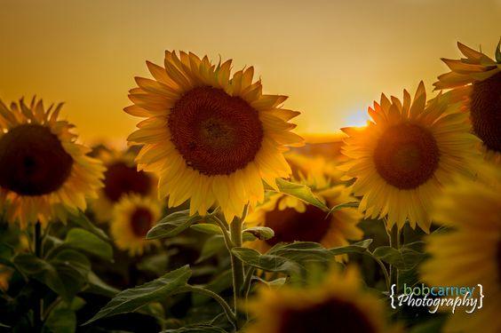 Sunflowers at sunset.