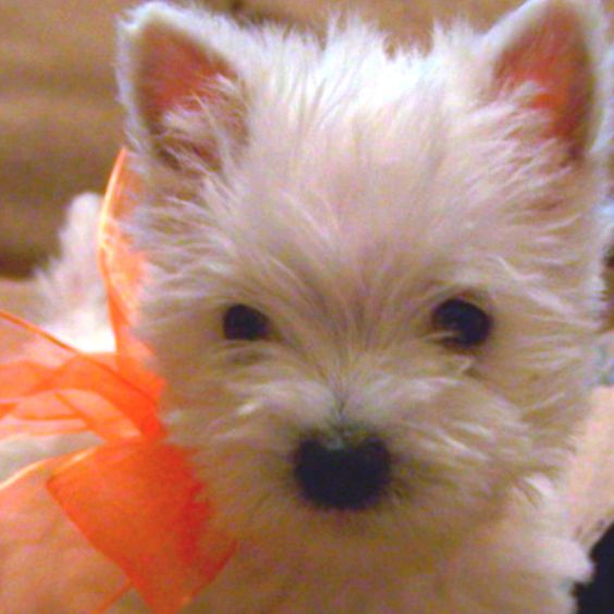 Westie baby love <3  I am gifting this baby to myself for my birthday :)
