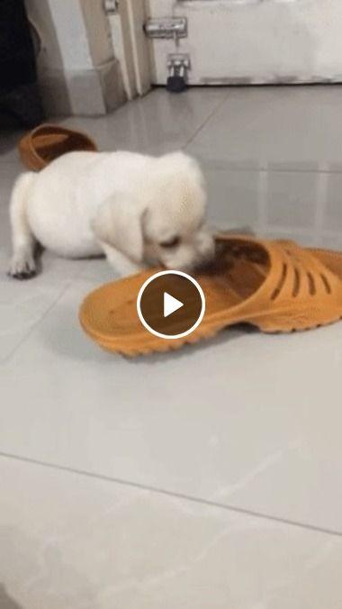 Cachorro fofo brinca com calçado.