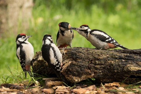 Drie kleine kleutertjes - Vogels (mus, valk, etc)