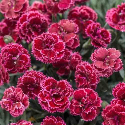 Dianthus Black Cherry Frost Flower Landscape Drought Tolerant Perennials Red Plants
