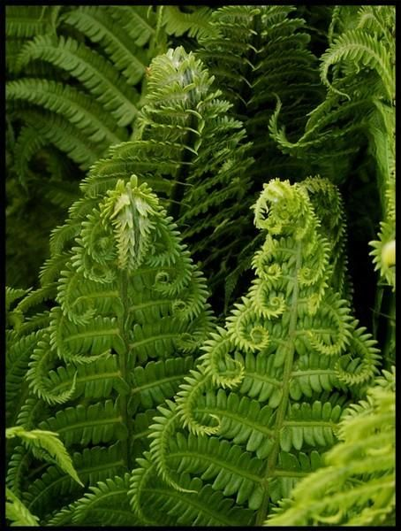 """Fern curls.  Thoreau: """"This is Spring. It precedes the green and flowery spring, as mythology precedes regular poetry... it convinces me that Earth is still in her swaddling clothes, and stretches forth baby fingers on every side. Fresh curls spring from the baldest row. There is nothing inorganic."""" from Walden"""