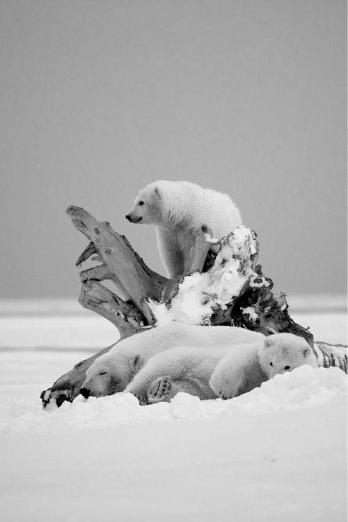 Polar Bear Snow. S)