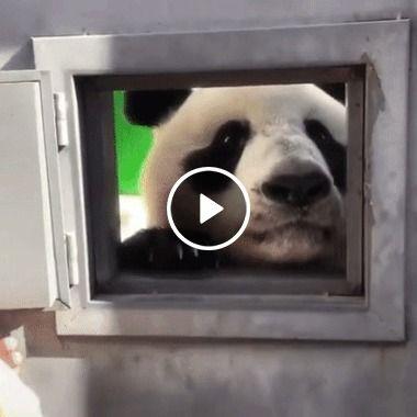 Panda curioso abrindo janela.