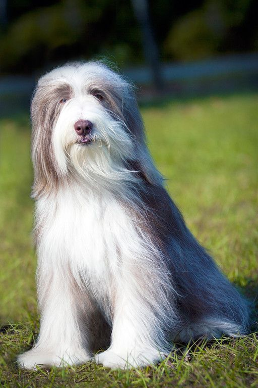 Bearded Collie Facts Bearded Collie Purebred Dogs Bearded