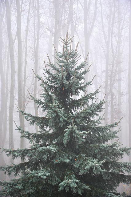 Sapin bleue dans la forêt
