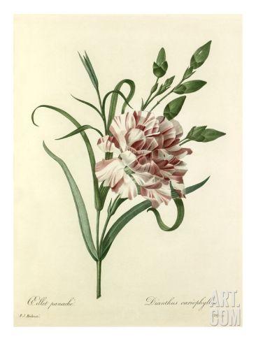 Oeillet panaché: Dianthus cariophyllus Giclee Print by Chapuy at Art.com