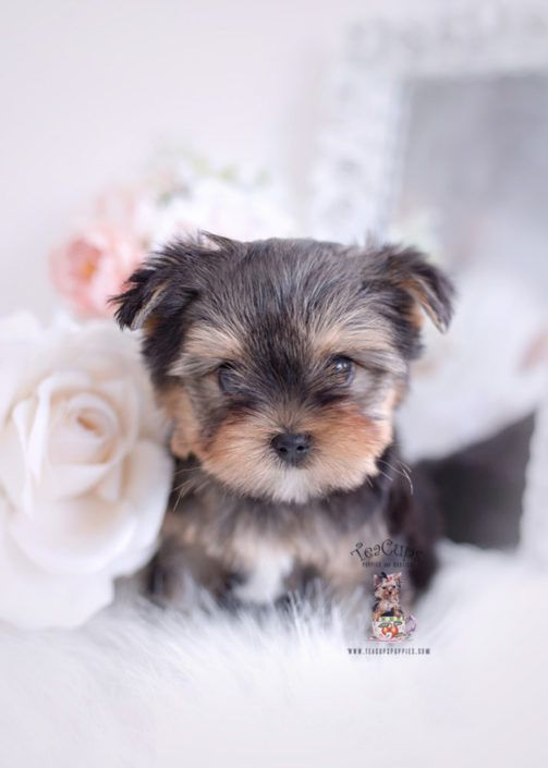 Yorkie Puppy For Sale Teacup Puppies 377 Aa In 2020 Teacup Puppies Teacup Puppies For Sale Yorkie Puppy