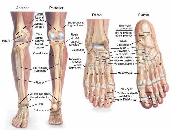 search anatomy and anatomy bones on pinterest : leg bones diagram treatment - findchart.co
