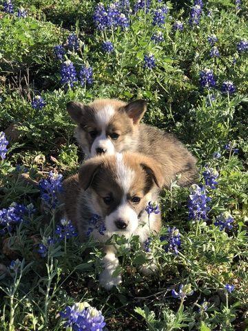 Litter Of 2 Pembroke Welsh Corgi Puppies For Sale In Castroville Tx Adn 70045 On Puppyfinder Com Gender Male S And Corgi Puppies For Sale Corgi Corgi Facts