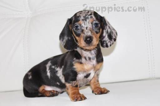 Baby Dogs For Sale San Diego Dachshund Puppies Dachshund