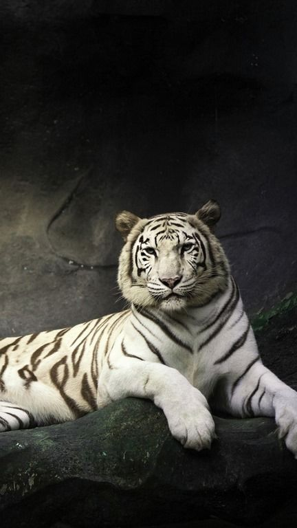 Hd Wallpapers For Iphone 6 1080p Pet Tiger Tiger Wallpaper White Tiger
