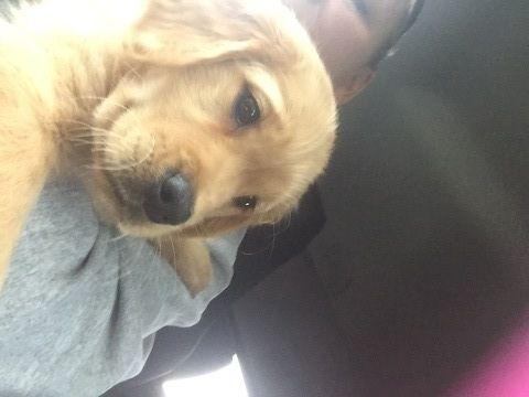 Golden Retriever Puppy For Sale In Sterling Heights Mi Adn 50292 On Puppyfinder Com Gender Female Golden Retriever Golden Retriever Puppy Puppies For Sale