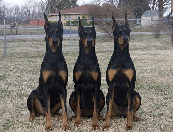 a brace of dobermans what a huge difference the correct ear crop can make dobermans. Black Bedroom Furniture Sets. Home Design Ideas