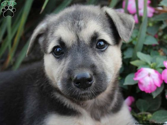 german shepherd husky mix puppies for sale in ohio Zoe