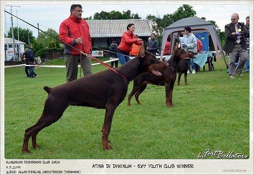 Atina Di Diwinum Doberman Dogs Dogs Doberman