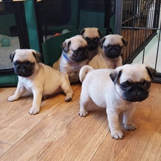 Stunning Champion Pug Puppies Ready Now Pug Puppies Dog Flea