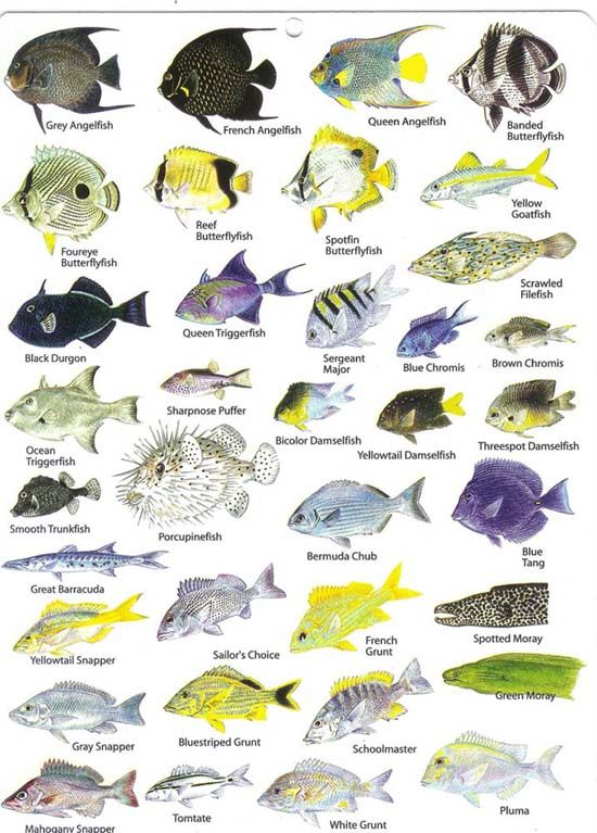Eleuthera bahamas reef fish and diving in harbour island for Bahamas fishing license