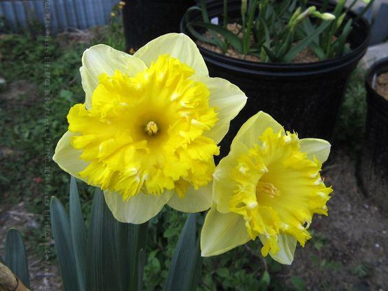'Snowtip' Narcissus