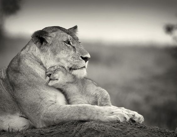 scene: Big Cats, Mothers Love, Adorable Animals, Animal Kingdom, Lion Love, Mother S, Baby Animals, Baby Lion