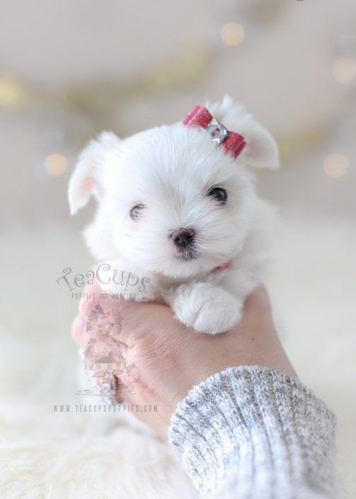 Beautiful Tiny Teacup Maltese Puppy By Teacup Puppies Boutique Home Raised And Locally Bred In Sunny So Teacup Puppies Maltese Maltese Puppy Teacup Puppies