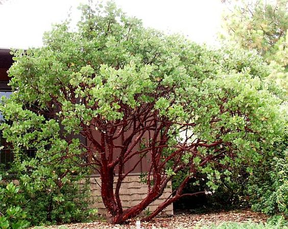 Manzanita, (Arctostaphylos), more than 40 species in California, from 2 in. to 20 ft., beautiful red to mahogany colored bark, white to pink urn shaped ...