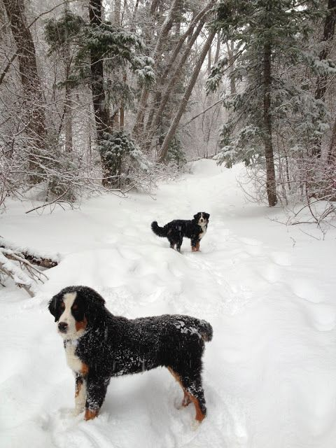 Bernese Mountain Dog puppies in the snow