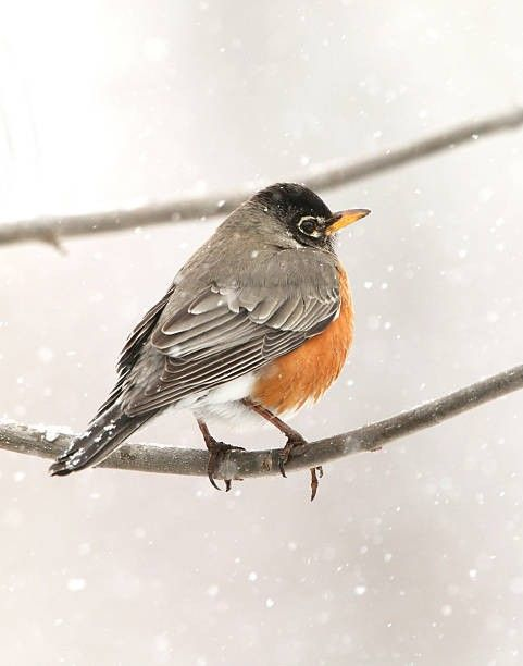 Robin In Winter Or Some Other Bird Animais Passaro Natureza